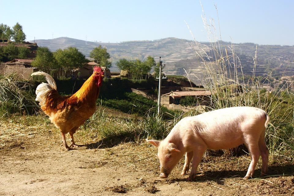 Factcheck: 'Geen ander Europees land heeft zo veel koeien, kippen en varkens als Nederland'